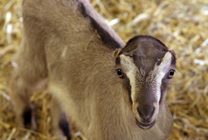 American Dairy Goat Association - Wikipedia